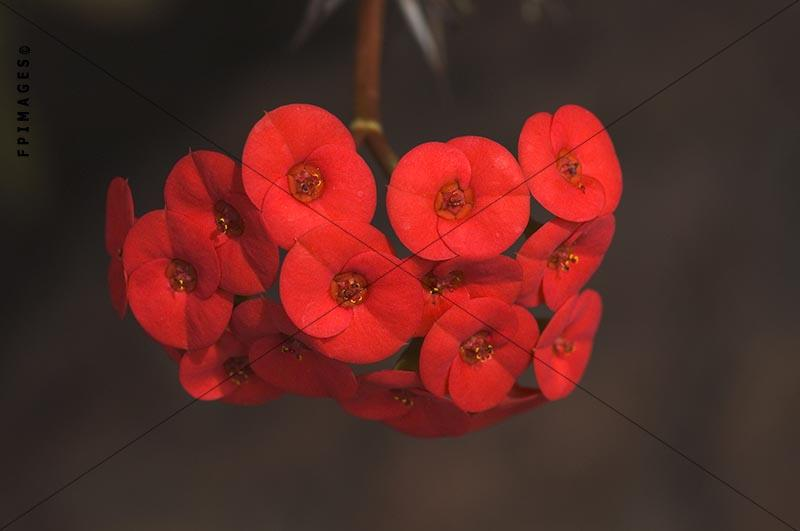 A cluster of red flowers of euphorbia milii, crown of thorns red bunch