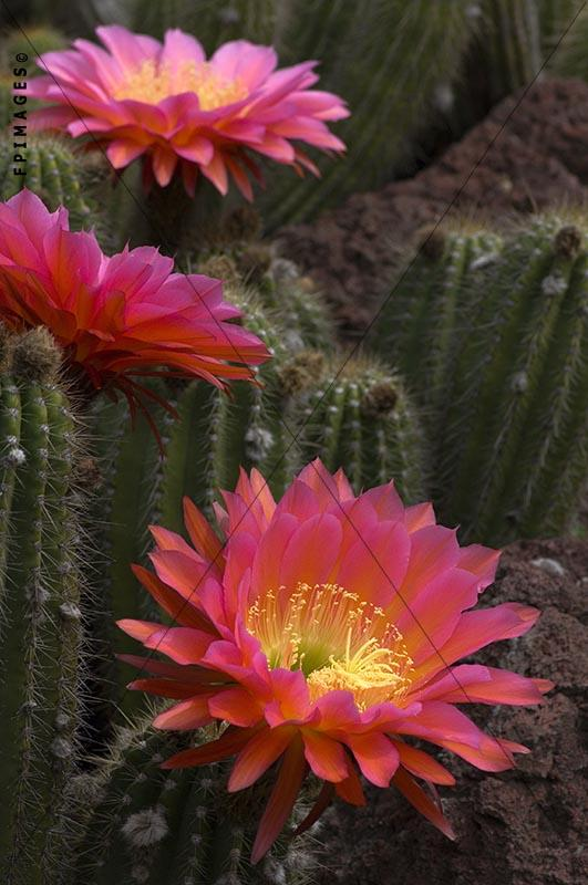 Flying saucer cacti in full bloom, echinopsis
