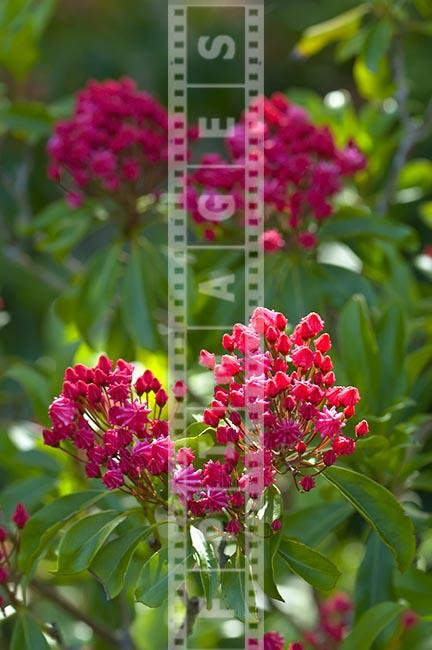 Olympic Fire, Kalmia latifolia