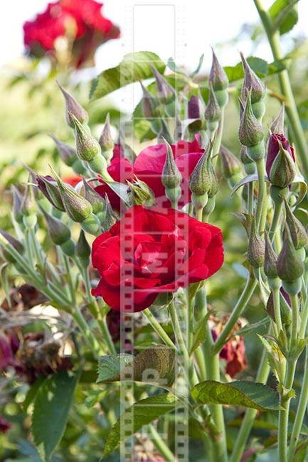 Crimson Red English rose and flower buds in the garden, hybrid rugosa