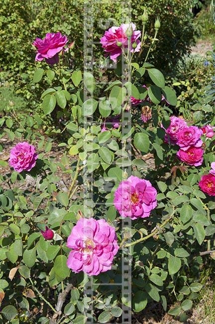 Roseate flowering bush garden photo rosarium