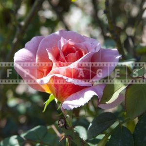Pinkish Rose picture, shrub, fully open close-up
