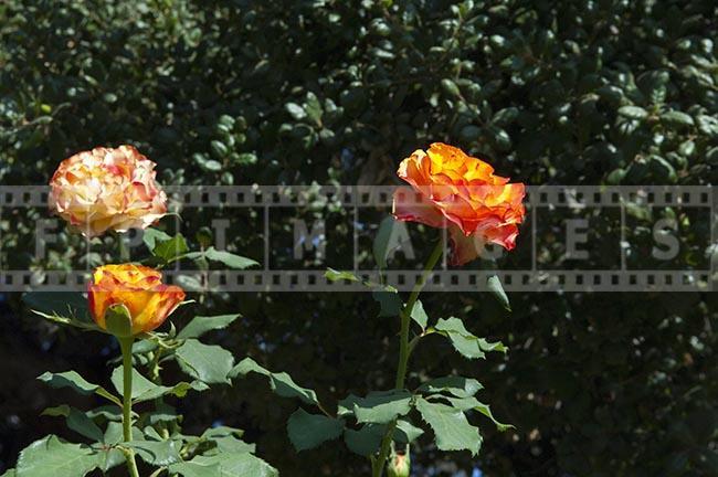 Yellow rose flower macro photograph in the garden