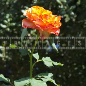 Yellowish - orange - red single rose flower