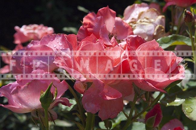 Close up image of pink floribunda roses bunch with water droplets