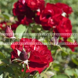 Red Floribunda Rose bush in full bloom, floral photograph