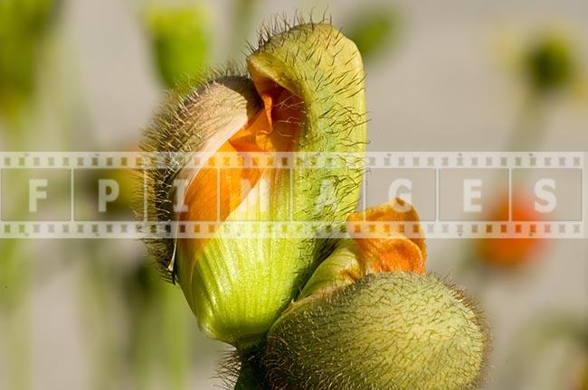 papaver nudicaule spring blossom Orange Poppy Close-up picture