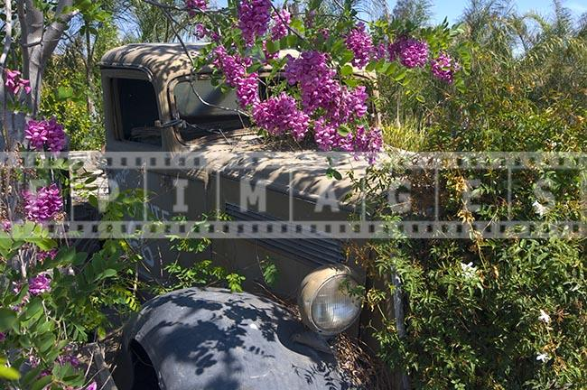 Old wrecked truck and tree in full bloom