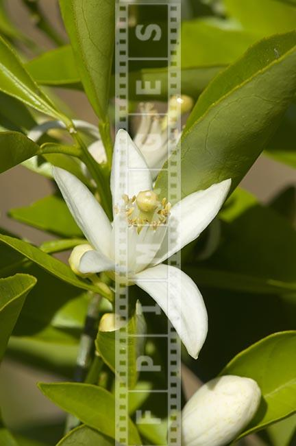 macro image of an orange tree blossom Citrus California
