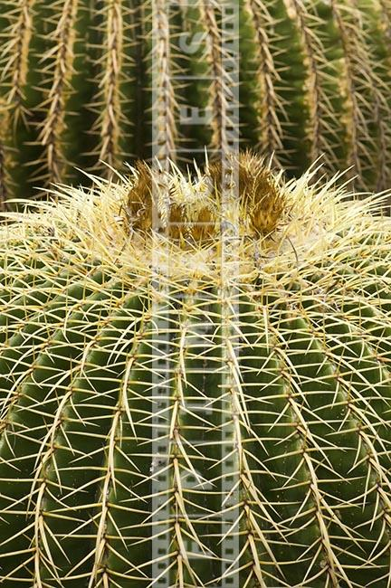 Echinocactus Grusonii desert succulent plant with sharp spines