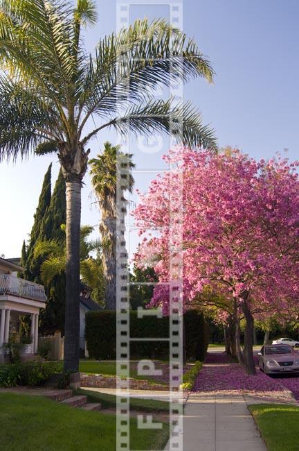 Tabebuia Impetiginosa - spring bloom rich pink color