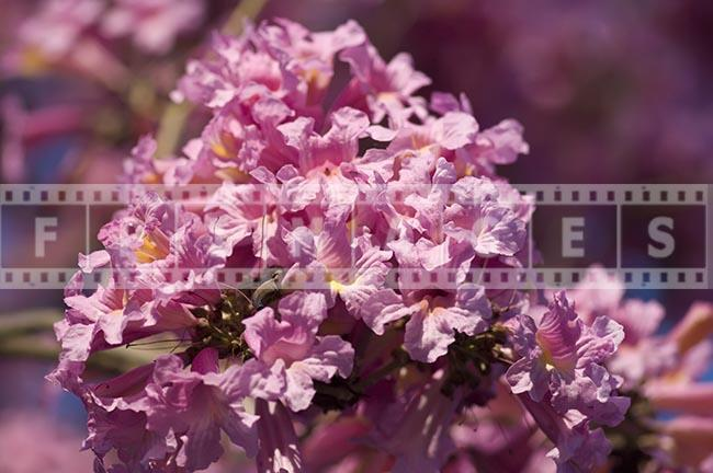 Tabebuia Impetiginosa spring blossoming tree deep rich pink colour