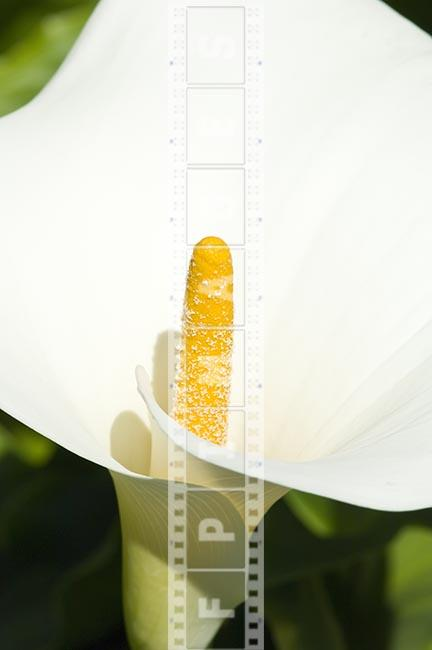 Macro shot of a lily flower, pistil and petal, white and yellow color