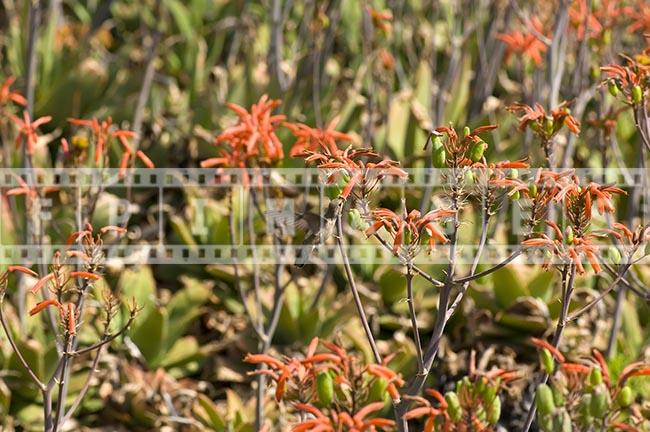 Small bird flying and eating nectar of aloe flowers
