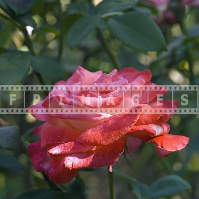 Rose floral photograph, pink hybrid tea rose