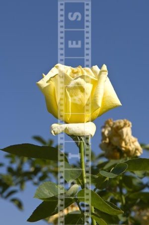 Single yellow hybrid tea rose flower isolated against blue sky image