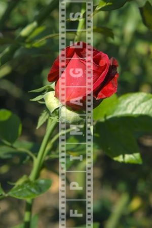 Red Rose flower, floral garden picture, hybrid tea