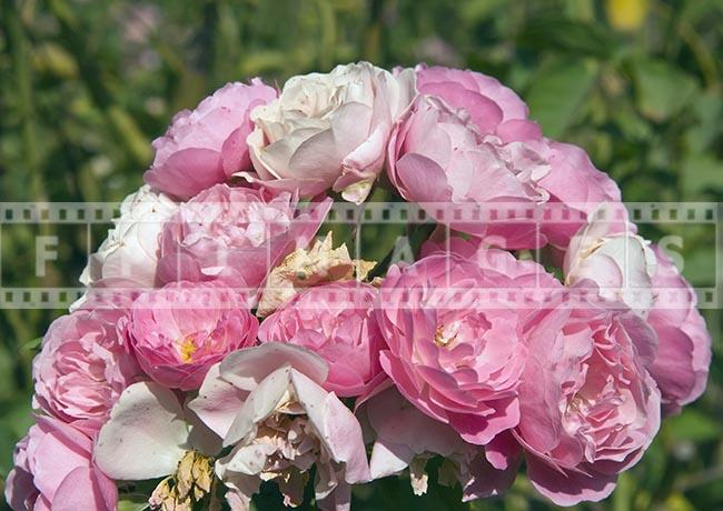 Rose Pink Blush Blossom bunch, botanical shrub, Macro photograph