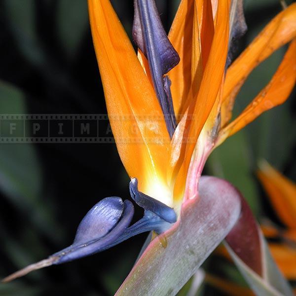 Flowering Bord of Paradise