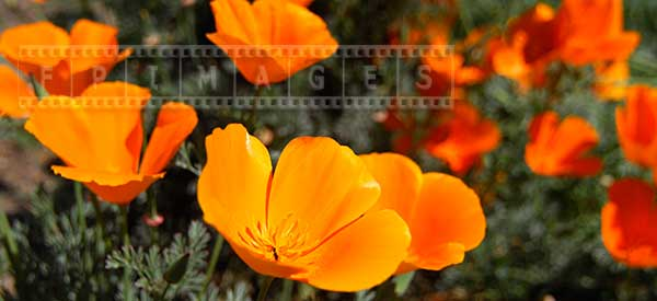 a bunch of California poppy flowers