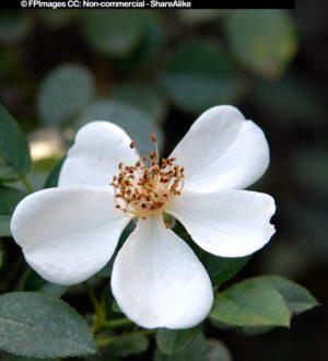 Awayuki hybrid rose
