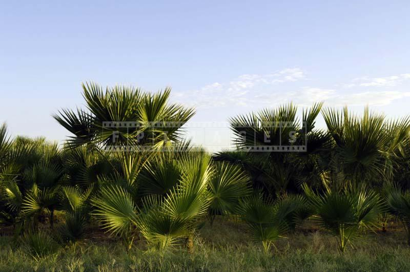 Sprawling Date Groves in Indio Coachella Valley, California