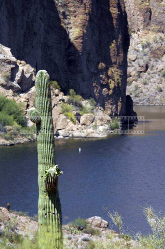 Tall Saguaro Cactus Plant