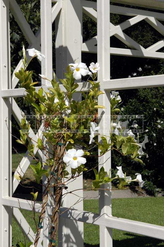 Vine with White Flowers Climbing on a White Post