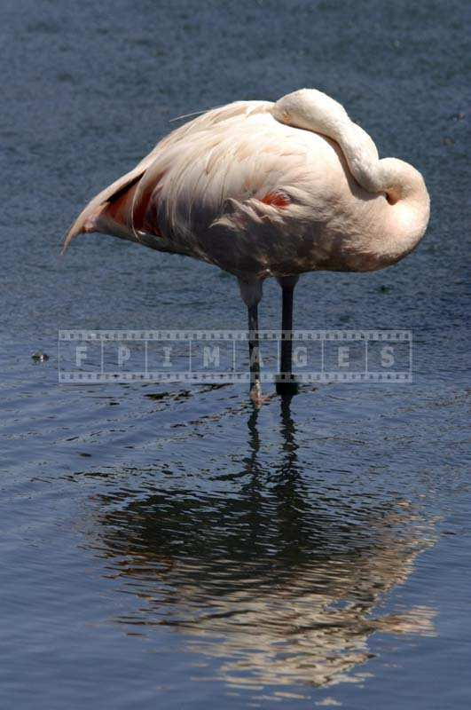 A Stunning Pink Flamingo in the Lake