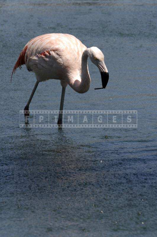 A Pink Chilean Flamingo Holding Something in its Black Beak