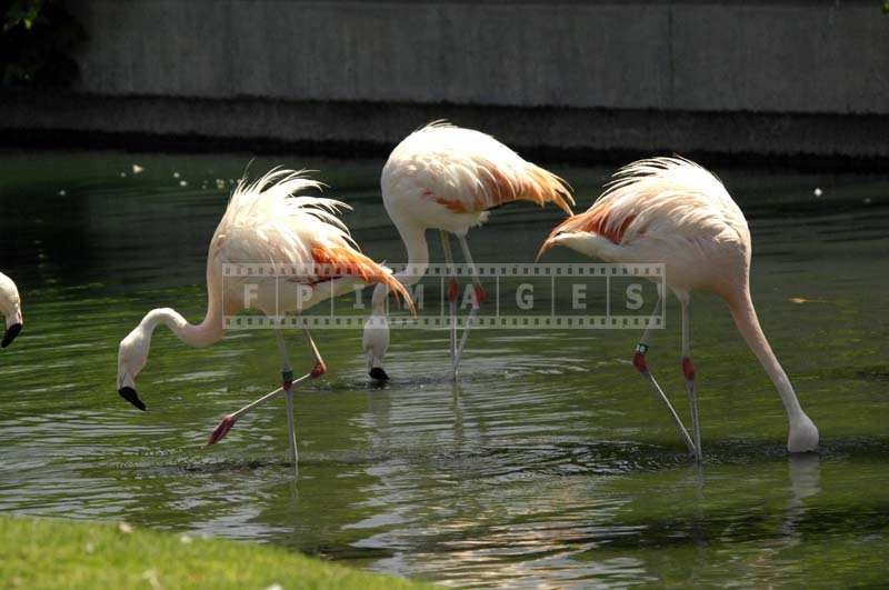 Three Pink Flamingos in the Well Maintained Resort Lake