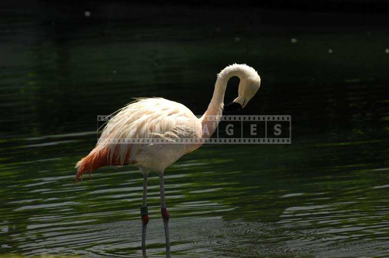 The Bright Pink Feathers of the Flamingo against the Green Lake Waters