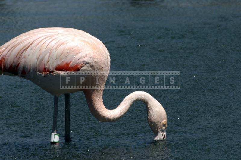 Picture of a Flamingo with its Slender Neck Stretched into the Lake