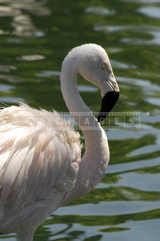 A Close view of the Pink Flamingo against the Lake Waters