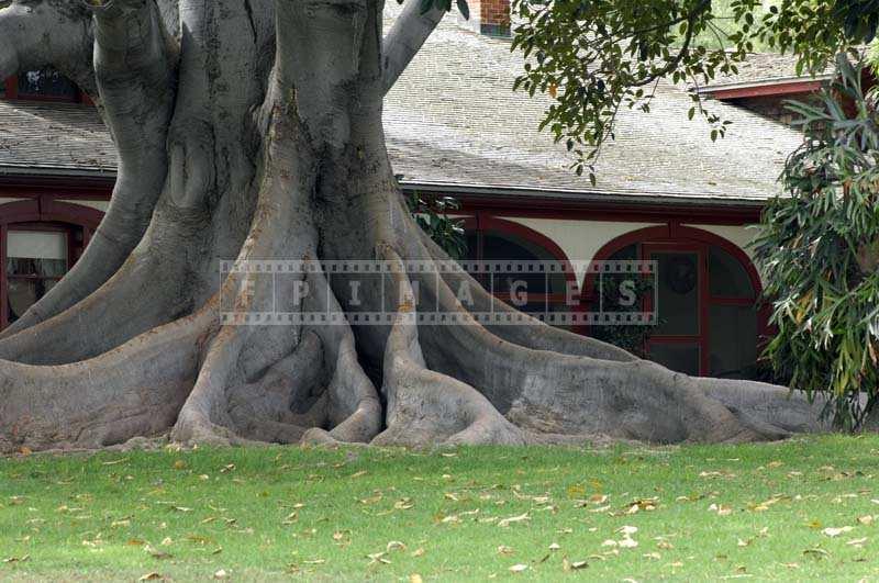 A Majestic banyan tree trunk and roots, Rancho Los Alamitos