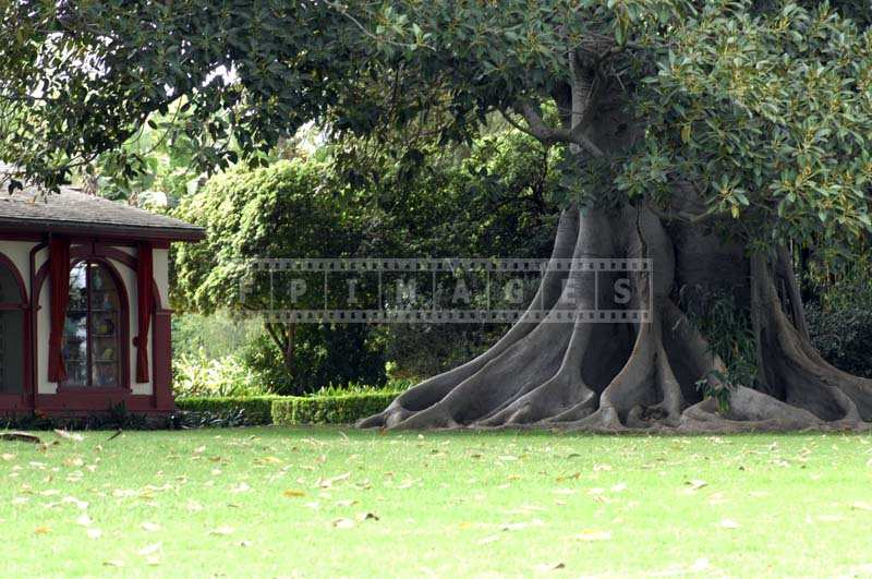 Lush garden with an old banyan tree