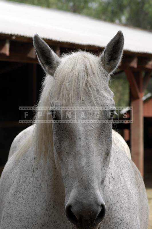 A curious white horse