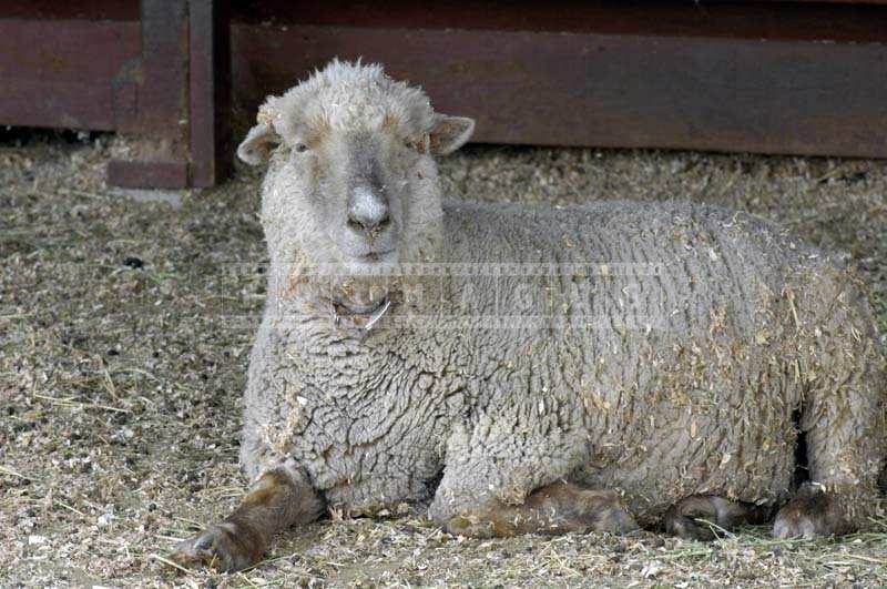 A Sheep Relaxing on the Barn Floor
