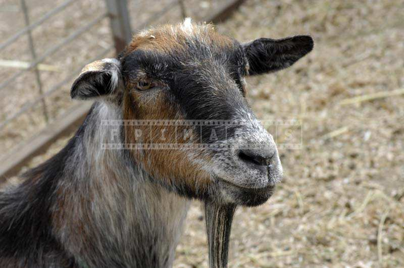 A Brown and Black Goat in the Ranch