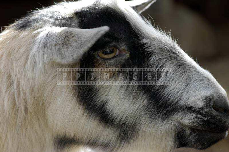 A Black and White Goat, Rancho Los Alamitos