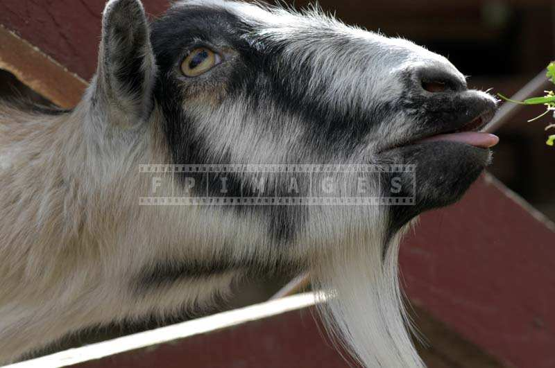 A Black and White Goat Reaching for some Greens