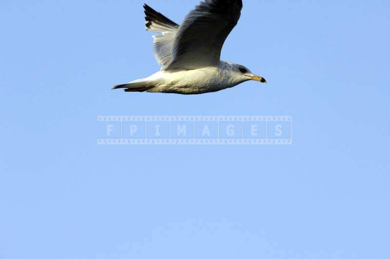 A Bird Flying against the Clear Blue Sky