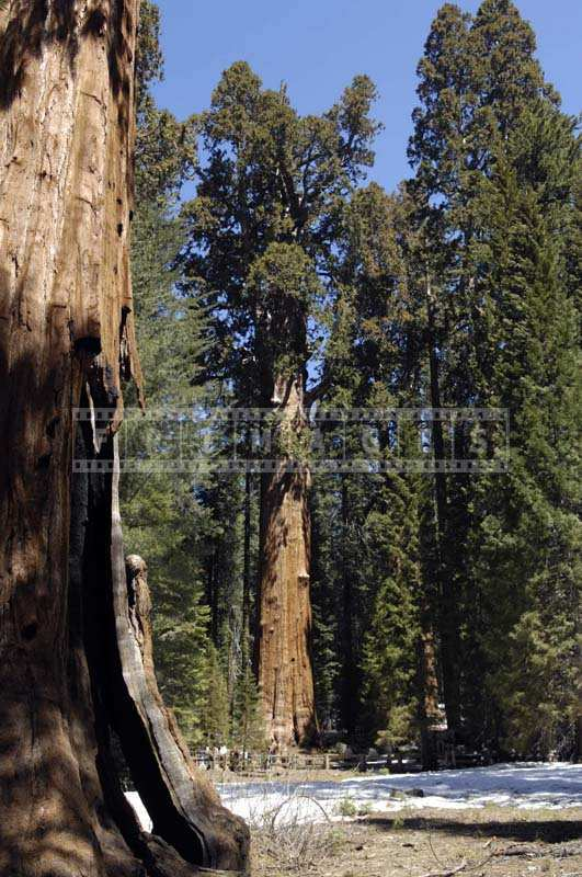 Sequoiadendron giganteum - giant sequoia largest tree in the world by volume - General Sherman
