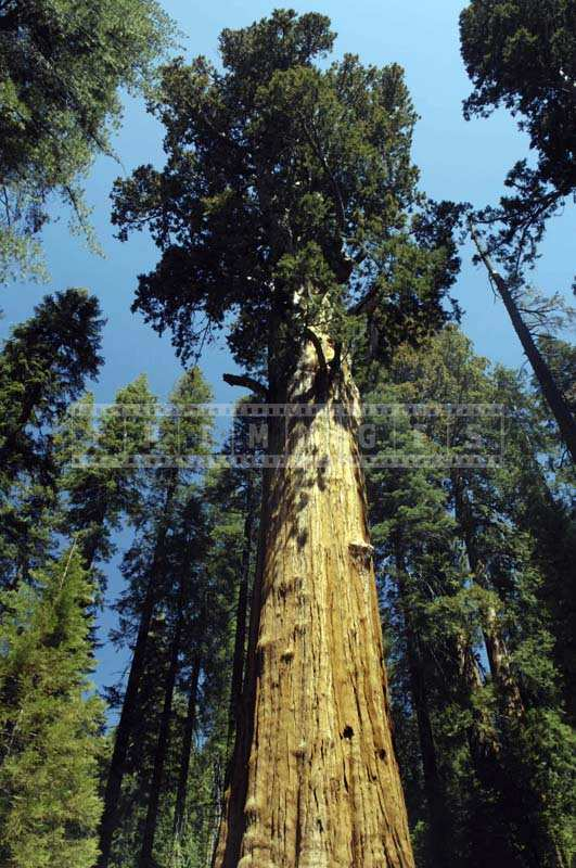 The Majestic Height of a General Sherman