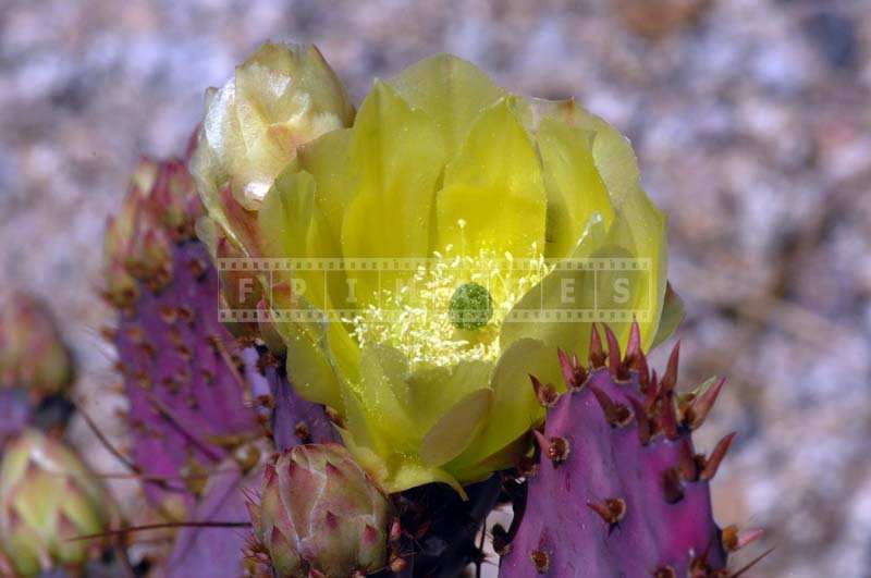 Beavertail Cactus Flower Golden Yellow