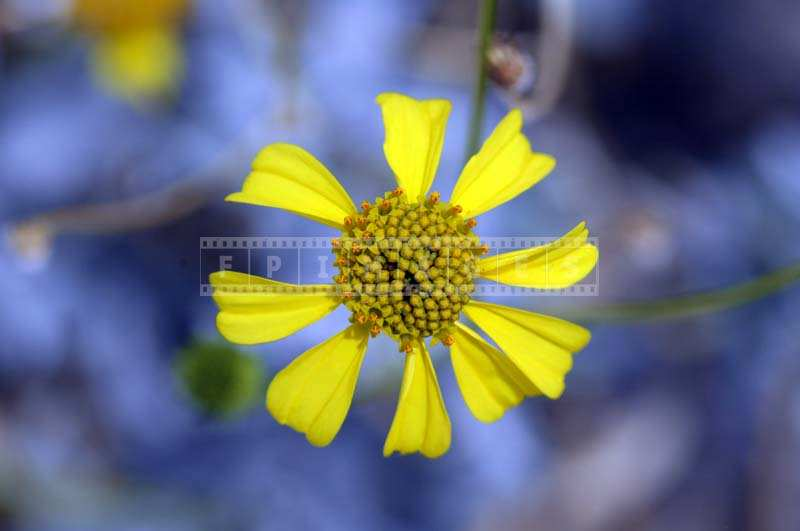 Macro Image of Brittlebush Flower