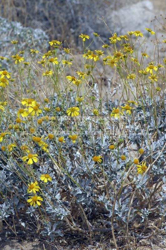 Brittle Bush in full bloom