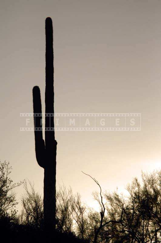 Saguaro Dark Silhouette at Sunset