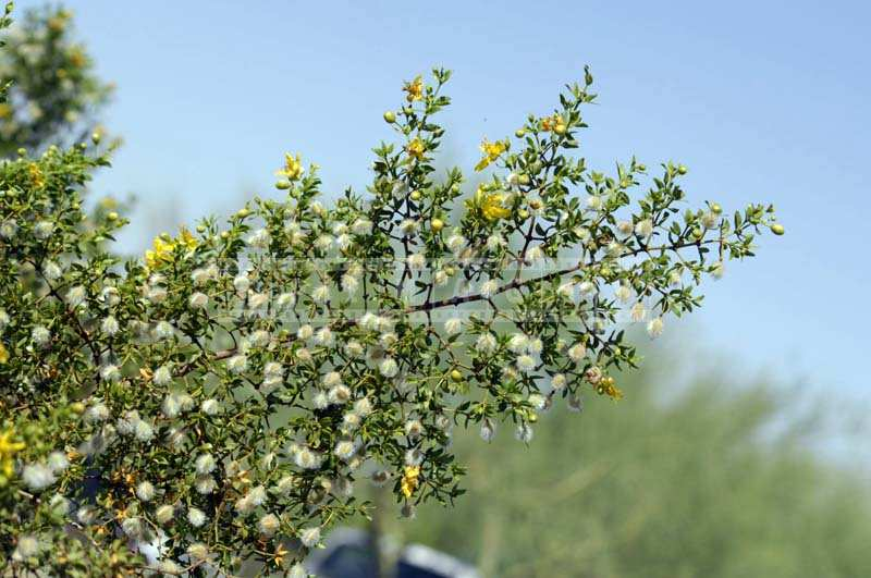 Creosote bush blooming