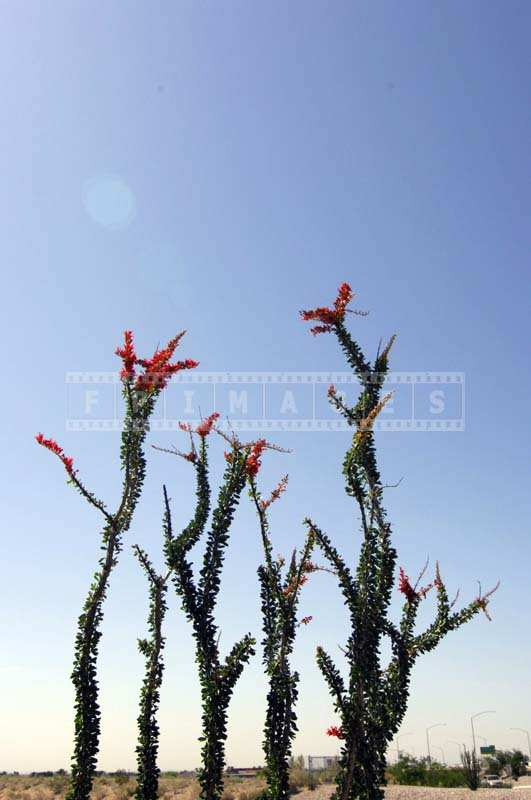Ocotillo succulent plant in bloom